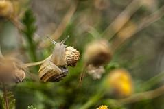 Eobania vermiculata al pascolo (Razgriz88) Tags: snail lumaca snails lumache macro meyeroptikgrlitzdomiplan50mmf28 micro micromondo meyeroptik nikon nature natura nikond300 d300 domiplan animali animal animals allaperto macrotubem42mounth