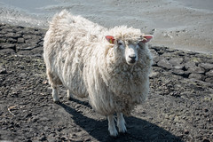 Husum 2016 (S001673) (Thomas Becker) Tags: vacation germany deutschland raw sheep sony iii urlaub norden may mai northsea dyke nordsee ferien embankment schleswigholstein schafe husum schaf deich norddeutschland lmmer 2016 2470 nordfriesland aviationphoto 160512 f1828 dscrx100 cthomasbecker dscrx100m3