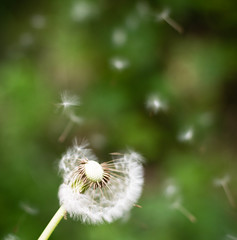 Dandilion (steelegbr) Tags: uk trees white green rural forest outdoors scotland countryside wind country perthshire seeds dandilion moncreiffhill