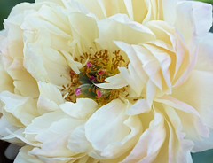 Today's Hopes (Synapped) Tags: peony flower white center close closeup macro