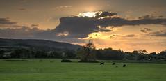 Grazing (Through Bri`s Lens) Tags: sunset tree sussex cows sheep riverbank grazing fodder bramber canon24105f4l animalfeed riveradur brianspicer canon5dmk3 leefilters0609softndgrads