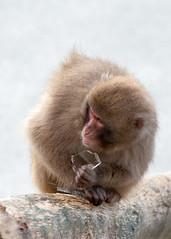 SJ7_6045 (glidergoth) Tags: zoo scotland snowmonkey japanesemacaque highlandwildlifepark