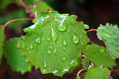 Rainy forest (Ib Aarmo) Tags: tree branch leaf leaves raindrops drops water green outdoor nature