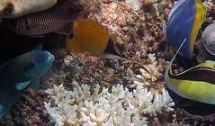 Big Longnose Butterflyfish (dfinney23) Tags: dfinney23 2016 maldives snorkeling underwater fish big longnose butterflyfish parrotfish cardinalfish powderblue surgeonfish moorish idol coral