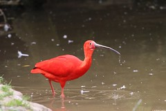 Scarlet Ibis (dariusz_ceglarski) Tags: red holland bird water netherlands dutch birds animal animals canon scarlet zoo flamingo nederland safari ibis netherland holanda nl bergen tilburg hollands woda safaripark niederlande holand rode zuidholland ptak netherlads ruber dariusz holandsko beekse hilvarenbeek holandia hollanda eudocimus nederlando ceglarski holadnia szkaratny dariuszceglarski