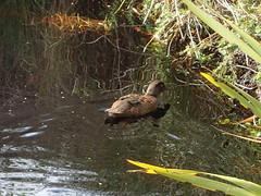 Campbell Island teal (dracophylla) Tags: newzealand codfishisland campbellislandteal anasnesiotis whenauhoa