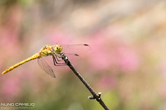 Liblula-comum - Common darter (Nuno Camejo) Tags: wild animal female insect dragonfly insects libelula inseto common liblula animalia arthropoda insetto darter libellule insetti libellula estado insetos insecto selvagem fmea odonata libellulidae comum insecta anisoptera sympetrum libelinha striolatum liblulacomum