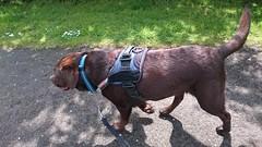 Hudson Walking (Filmstalker) Tags: mobile labrador hudson chocolatelabrador