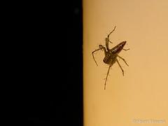 Oxyopes sertatus (Shiori Hosomi) Tags: june japan night tokyo spider nocturnal  araneae 2016   oxyopidae     noctuary  noctivagant  23  entomon