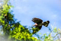 Attention! J'arrive... (Crilion43) Tags: arbres france vreaux divers ciel pigeon oiseaux nuages paysage centre canon cher biset bleue charbonnire eider msange nature ramier roucouler rflex sapin thuya