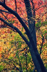 (ojoadicto) Tags: artisticphotography otoo autum hojas tronco leaves red orange green tree nature naturaleza