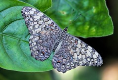 Gray Pansy Butterfly (dianne_stankiewicz) Tags: allnaturesparadise