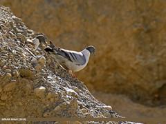 Snow Pigeon (Columba leuconota) (gilgit2) Tags: pakistan birds fauna canon geotagged wings wildlife feathers tags location species tamron category avifauna gojal chapursan gilgitbaltistan imranshah columbaleuconota canoneos7dmarkii tamronsp150600mmf563divcusd snowpigeoncolumbaleuconota gilgit2