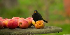 Touche pas  ma pomme !!!! (Phil du Valois) Tags: merle oiseau libre pomme sauvage faune