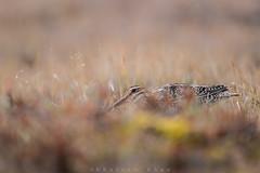 Tundra Trouble (Khurram Khan...) Tags: wilsonssnipe snipe wildlife wildlifephotography arctic tundra barrow alaska ilovenature iamnikon wwwkhurramkhanphotocom nikon nikkor naturephotography birding birds