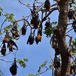 Bat Colony Sleeping in Tree 8 thumbnail