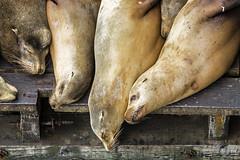 Nap Time (marc.stokes) Tags: sf california santa sea pier san francisco wildlife lion cruz seal 39