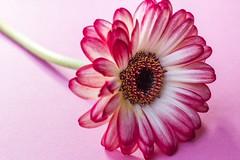Gerbera (amandahaxby) Tags: berbers flower petal plant nature canon
