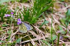 Butterfly (NikonTreeMonkey) Tags: green nature grass butterfly wings outdoor natur ground gras grn schmetterling boden flgel waldboden