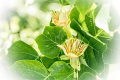 Tulip tree (HB Jansson) Tags: plant lund tree sweden botanicalgarden botan