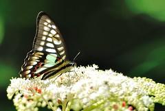 Graphium doson () Tags: butterfly      graphiumdoson