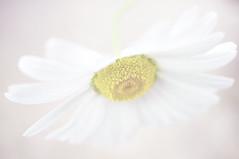 Whoopsadaisy (Sarah Fraser63) Tags: white flower yellow petals flora daisy highkey