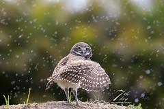 Come with me! (Seventh day photography.ca) Tags: bird animal spring unitedstates florida wildlife raptor owl wildanimal predator birdofprey carnivore burrowingowl owlet