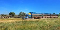 WAITING TO LOAD (Paulo660) Tags: kenworth road train cattle livestock truck australia bulls heifer bullock cow cows