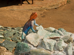 Colorful male Agama lizard perked up to look intimidating (3scapePhotos) Tags: africa agama tanzania colorful continent hotel intimidating lizard lodge male perked safari tarangire