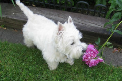 "6/12A ~ ""Riley, did you break that flower?"" (ellenc995) Tags: flower garden riley westie westhighlandwhiteterrier coth supershot abigfave pet500 pet100 thesuperbmasterpiece rubyphotographer 100commentgroup alittlebeauty challengeclub coth5 naturallywonderful thesunshinegroup sunrays5 12monthsfordogs16"