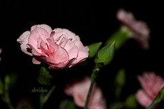 Pink Carnation (abrideu) Tags: abrideu canoneos100d pink carnation depthoffield macro flower flowers indoor plant bokeh ngc npc