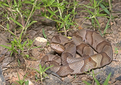 Copperhead (cre8foru2009) Tags: georgia reptile snake copperhead herping agkistrodoncontortrix