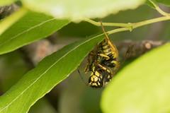 German wasp with prey (Steve Balcombe) Tags: uk somerset taunton