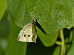 Cabbage butterfly/Kohlweiling/Pieris brassicae (Michael Keyl) Tags: nature outdoor natur butterflies insects insekten schmetterlinge tagfalter