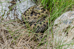 Adder (female) - Viper berus (Matchman Devon) Tags: adder female viper berus ringmore south hams ayrmer cove devon