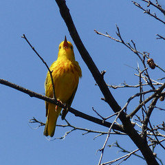 Yellow Warbler male (annkelliott) Tags: alberta canada wofcalgary bowvalleyprovincialpark manyspringstrail kananaskis kcountry nature ornithology avian bird birds warbler yellowwarbler setophagapetechia male yellow singing perched branch tree outdoor summer 28june2016 fz200 fz2003 anneelliott2016 allrightsreserved