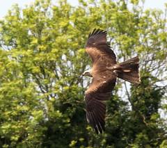 Kite (Bob_P_UK) Tags: kite bird birdofprey hawkconservancy