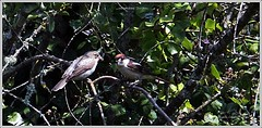 IMG_1068-crop (ryancarter2012) Tags: gorge menorca cala galdana woodchat juv shrikes algendar