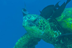 turtle2Jun20-16 (divindk) Tags: cheloniamydas hawaii hawaiianislands kauai underwater cleaningstation diverdoug greenseaturtle marine ocean reef sea seaturtle symbiosis turtle underwaterphotography