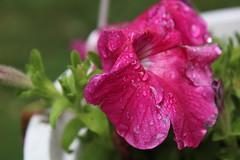 After the Rain 5/9 (emilyholmberg1) Tags: summer plant flower water rain closeup leaf raindrop afterrain