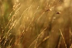 ...dance me to the light... (dawn.tranter) Tags: light sunshine dance movement flora grasses dawntranter 7dwf