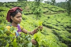 Srimangal-6255 (BohemianTraveler) Tags: asia tea bangladesh srimangal srimongol sreemangal