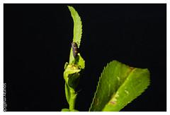 Crawl (chagingmind) Tags: macro closeup bug google donald hillary trump copa federer messi larve brexit regrexit