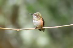 Rufous Hummingbird (thomasbarbin) Tags: bird nature canon hummingbird bc wildlife birding victoria rufus 7d rufous selasphorus
