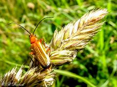 Ein strahlendes Outfit (Fotoamsel) Tags: deutschland tiere natur wiese insekten goslar niedersachsen roterfliegenkfer