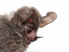 Stripe-headed round-eared bat (Andrew Snyder Photography) Tags: bat wwf myn worldwildlifefund tonatia meetyourneighbours tonatiasaurophila globalwildlifeconservation biodiversityassessmentteam worldwildlifefundguianas wwfguianas stripeheadedroundearedbat