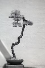 DSC_3836s (An Xiao) Tags: arboretum bonsai penjing