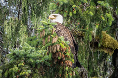 Bald Eagle, Alaska (Lee Edwin Coursey) Tags: 2016 alaska eagle uncruise unitedstates adventure baldeagle cruise landscape nature travel vacation