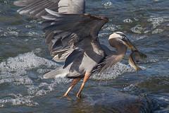 IMG_1304 Great Blue Heron (cmsheehyjr) Tags: bird heron nature virginia wildlife richmond greatblueheron floodwall ardeaherodias colemansheehy cmsheehy