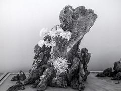 DSC_3802s (An Xiao) Tags: arboretum bonsai penjing